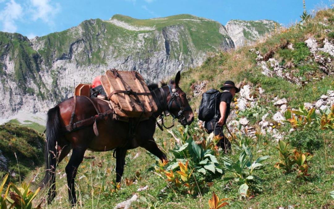 Le mulet transporte encore les meules de gruyère d'alpage